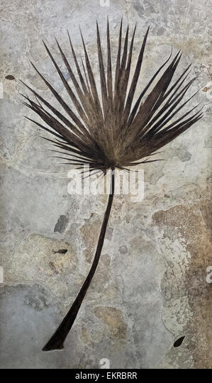 Fossilized Palm Frond - Stock Image