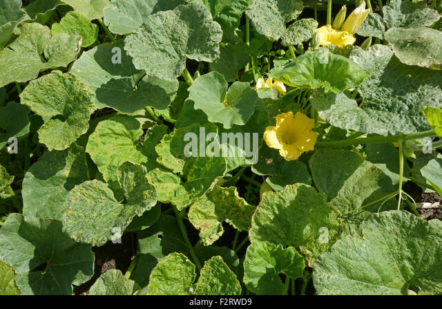 Cucumber mosaic virus, CMV, symptoms on a squash plant, Cucurbita spp., Hampshire, August. - Stock Image