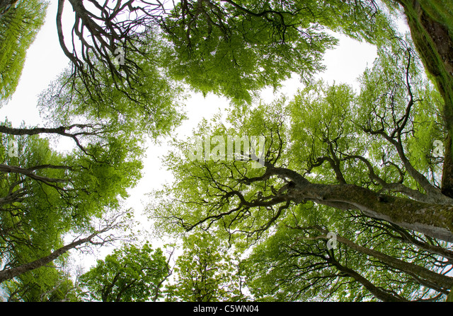 Common beech stock photos common beech stock images alamy for Garden trees scotland