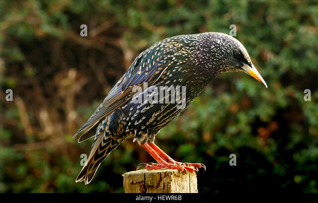 Starlings from Europe were introduced for insect control to North America, South Africa, Australia , and New Zealand. - Stock Image