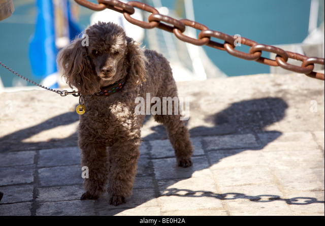 French poodle - Stock Image