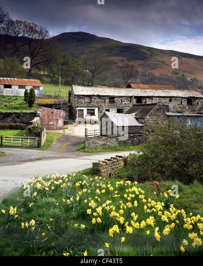 Daffodils bloom by the side of a small country lane and old farm buildings in a remote valley in North Wales. - Stock Image