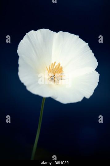 Common name: California poppy   Latin name:Eschscholzia californica - Stock Image