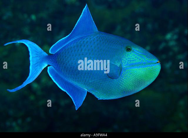 redtooth triggerfish, red-toothed triggerfish, redfang (Balistes erythrodon, Odonus erythrodon, Xenodon niger  Odonus - Stock Image
