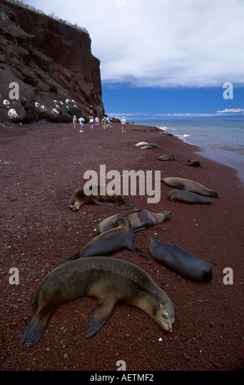 Ecuador Galapagos Islands Rabida Island Galapagos Sea Lion red beach visitors cliffs - Stock Image