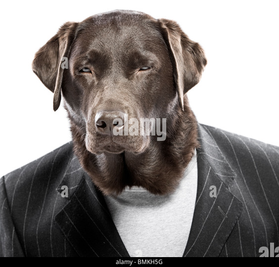 Shot of a Chocolate Labrador in Pin Stripe Suit with Squinted Eyes - Angry Dog - Stock Image