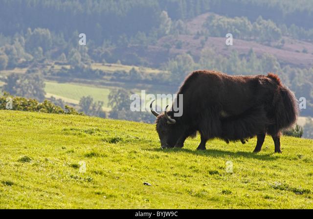 Yak (Bos mutus) grazing at Highland Wildlife Park, Scotland. - Stock-Bilder
