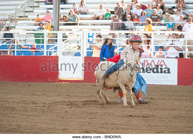A 4-year-old boy rides a sheep while mutton busting at the rodeo. - Stock Image