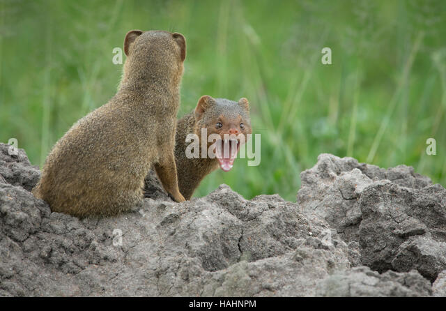 Two Dwarf Mongoose on a termite mound, one yawning - Stock Image