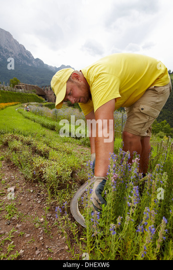 Man harvesting flowers - Stock Image