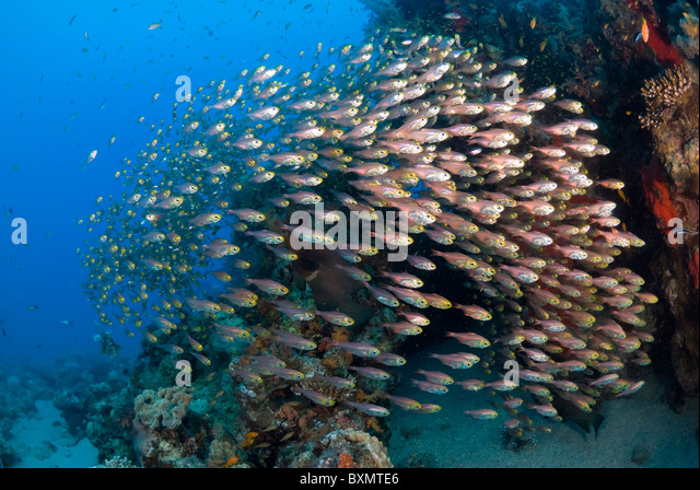 Red Sea lionfish hunting glass fish, Nuweiba, Sinai, Egypt, Red Sea, Indian Ocean - Stock Image