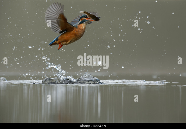Flying kingfisher emerging after a dive - Stock Image