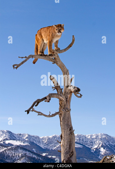Mountain Lion, Felis concolor up a tree - Stock Image