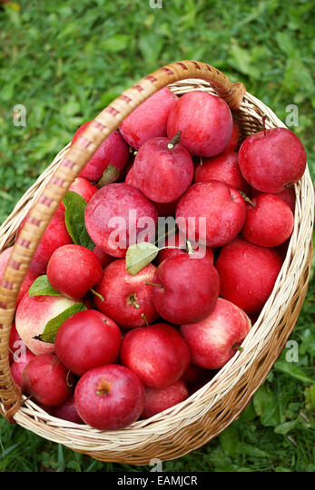 Freshly picked apples in a basket. - Stock Image