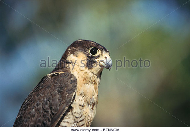 PSL 60185 : Birds ; laggar falcon falco jugger - Stock Image