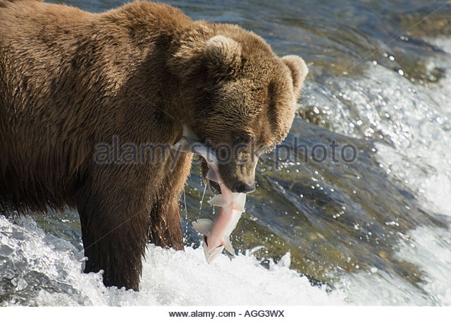 Alaskan Grizzly Bear with a Salmon in his mouth, Brooks River, Katmai National Park, Alaska, USA - Stock Image
