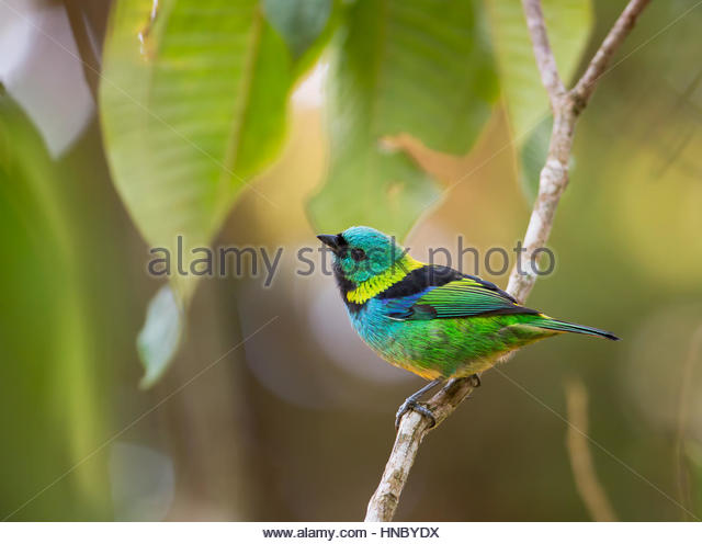 A green-headed tanager in a tropical environment in Ubatuba, Brazil. - Stock-Bilder