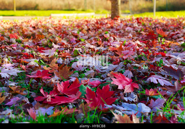autumn leaves on grass - Stock Image