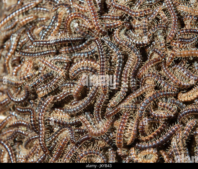 Multiple Greenhouse Millipedes (Oxidus gracilis) gathering on a rock during mating period, Ledges State Park, Iowa, - Stock Image