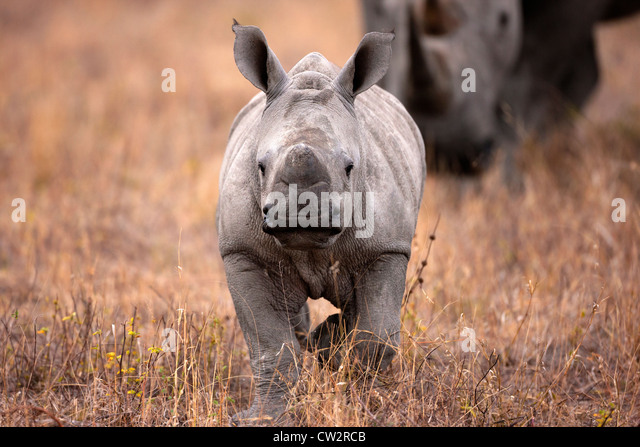 Front view of baby Rhinoceros walking with mother - Stock Image