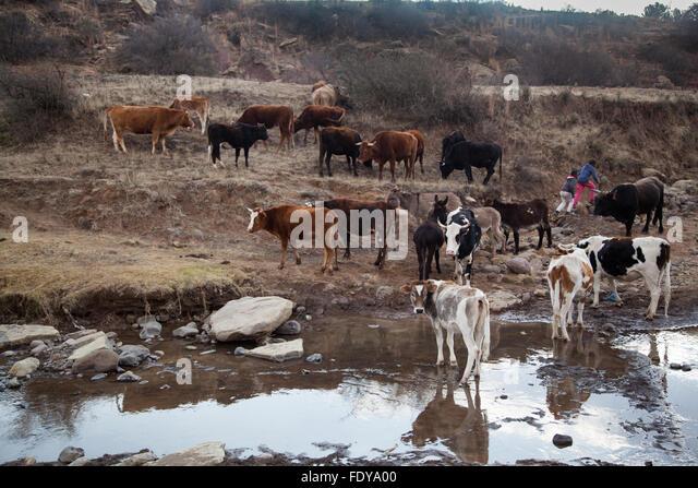 livestock herding in rural Lesotho highlands. A travel destination in Africa. - Stock Image