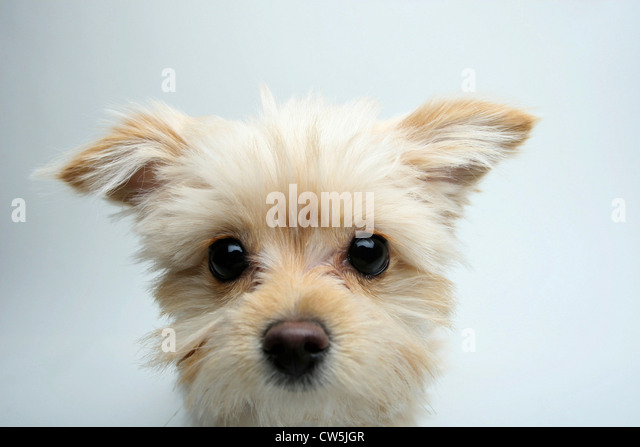 Close-up of a mixed breed puppy - Stock Image