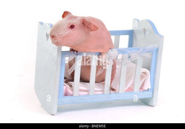 Funny Cavy in a child Cot - Stock Image
