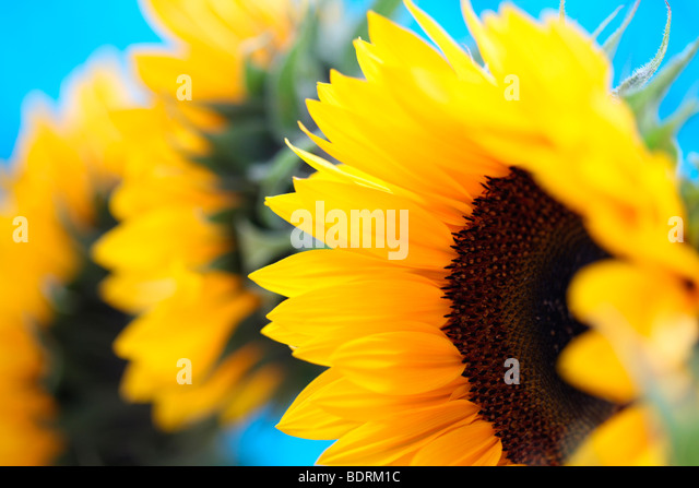 a group of beautiful sunflowers in a contemporary style - fine art photography Jane-Ann Butler Photography JABP586 - Stock Image
