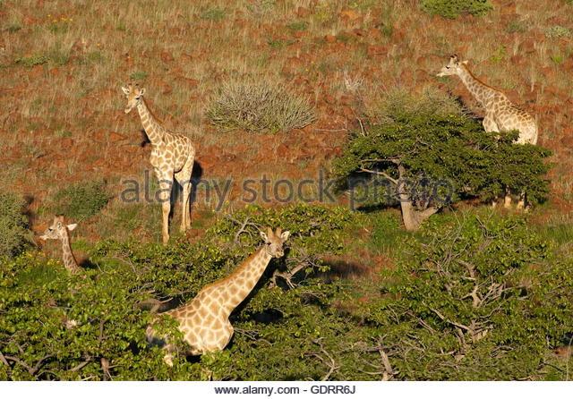 the zoology of giraffes giraffa camelopardalis Lung volumes in giraffes,giraffa camelopardalis g mitchella, band jd skinnera  b dept of zoology and physiology university of wyoming, usa abstract.