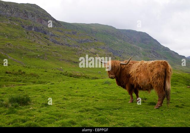 Highland cow, Kirkstone Pass, Lake District National Park, Cumbria, England, United Kingdom, Europe - Stock Image