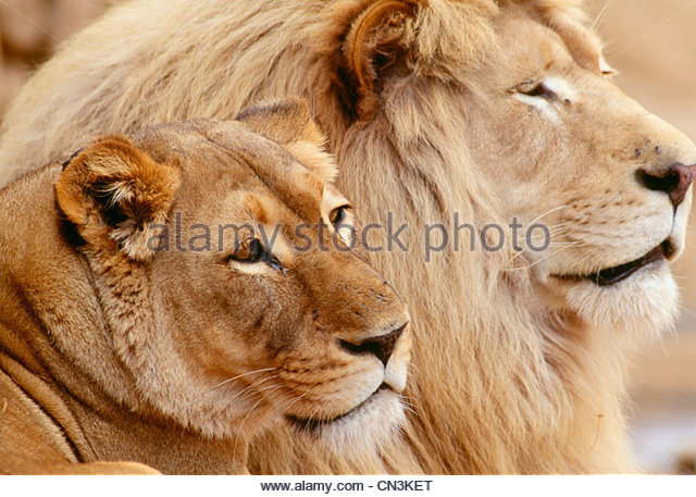 African lion pair, Tembuvate Preserve, South Africa - Stock Image
