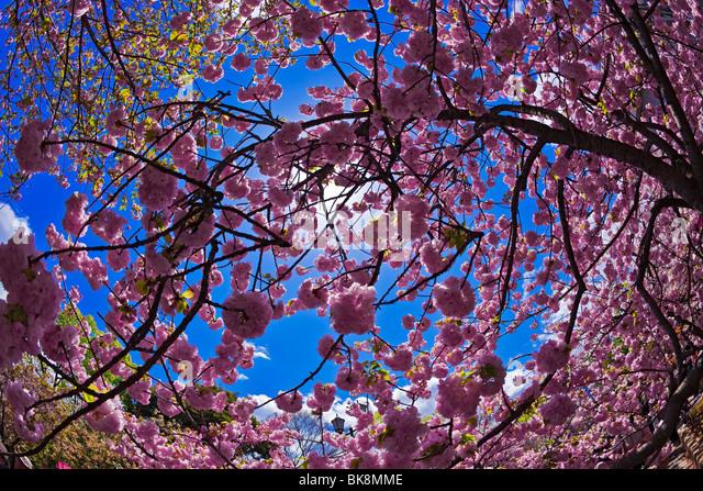Sakura hanami cherry blossoms Osaka Japan - Stock Image