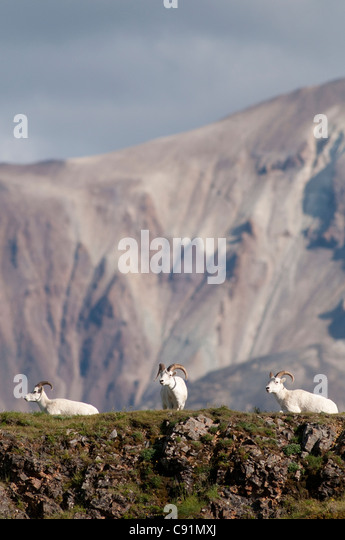 A trio of Dall sheep rams rests on a rock ledge near Polychrome Pass in Denali National Park & Preserve, Interior - Stock Image