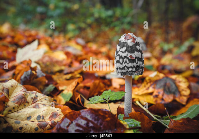 Black Coprinopsis picacea mushroom with white spots in a forest in the fall with autumn leaves in beautiful autumn - Stock Image