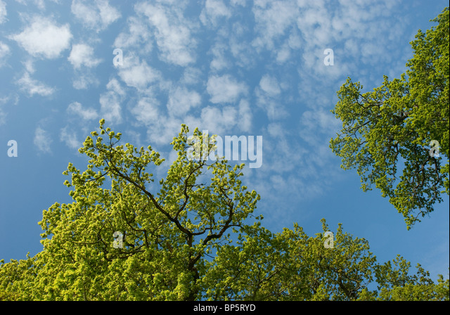 Low angle view of oak tree and sky - Stock Image