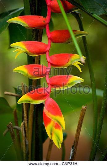 Heliconia flower, Pulau Langkawi, Malaysia - Stock Image