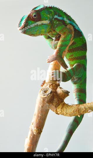 panther chameleon (furcifer pardalis) - Stock Image