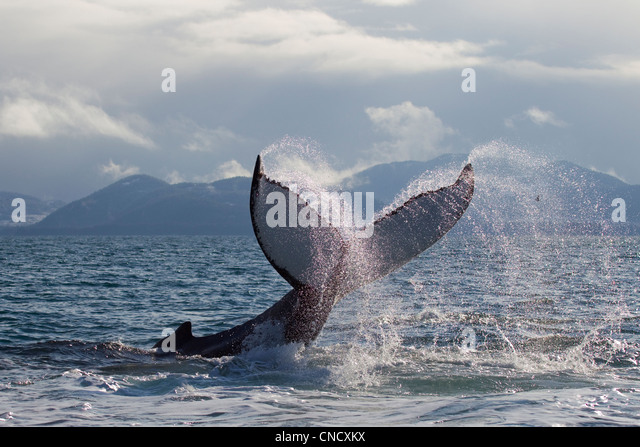 Humpback whale tail slapping surface of Prince William Sound, Southcentral Alaska, Spring - Stock Image