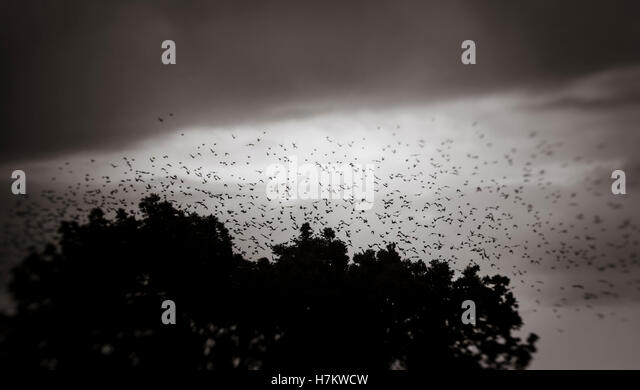 Big flock of birds flying in the sky above forest. Dark and moody nature background. - Stock-Bilder