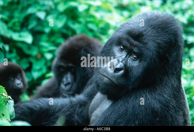 Mountain Gorilla Gorilla gorilla beringei Silverback with family group Endangered Localised Rwanda Western Uganda - Stock Image