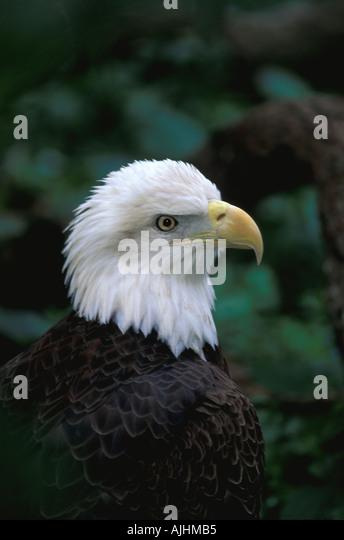 Birds American bald eagle - Stock Image