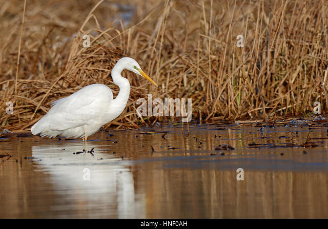 Great Egret (Ardea alba) standing in water, searching for food, Middle Elbe Biosphere Reserve, Saxony-Anhalt, Germany - Stock Image