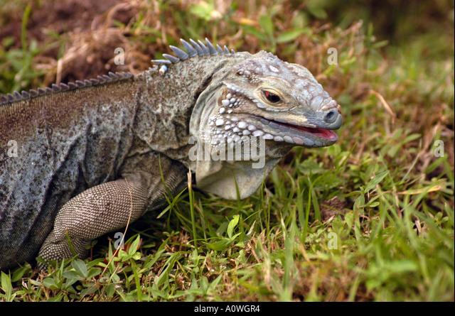 Cayman Islands Grand Cayman Blue Iguana Caribbean animals wildlife reptile Botanic Park - Stock Image