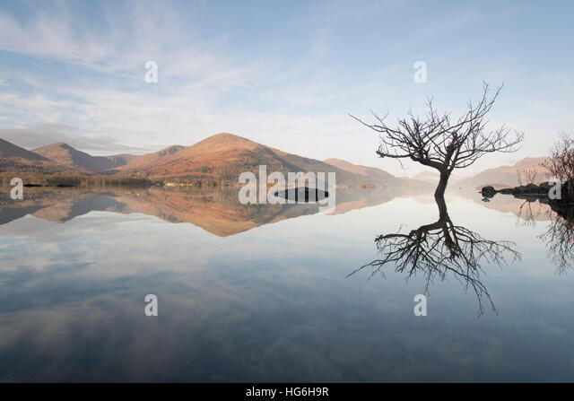 Flooded oak tree in loch lomond and the trossachs national park, looking toward the village of Luss and ben Lomond, - Stock Image