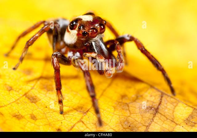 Jumping spider on yellow leaf.  Masoala Peninsula National Park, Madagascar. - Stock-Bilder
