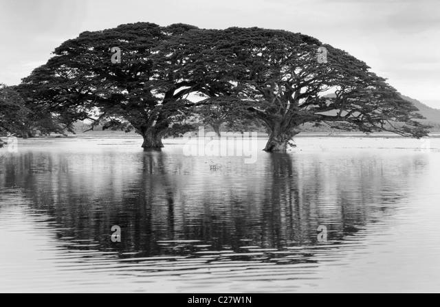 Rain Trees (Samanea saman) reflected in seasonal pond, Sri Lanka - Stock Image