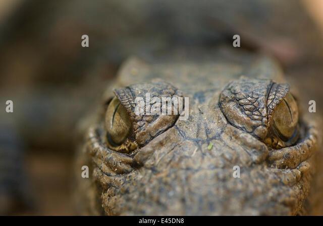 Nile Crocodile (Crocodylus niloticus) close-up of top of head, captive, Madagascar - Stock Image