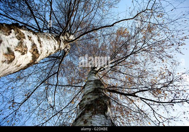 Birke an einem sonnigen Tag im Herbst vor blauem Himmel - Stock-Bilder