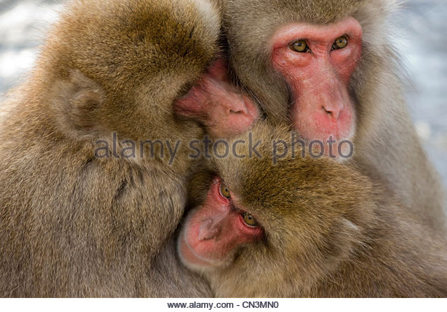 Japanese macaque family huddle together for warmth, Japanese Alps, Honshu Island, Japan - Stock Image
