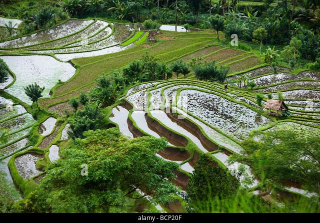 rice terraces, nr Tirtagangga, Bali, Indonesia - Stock Image